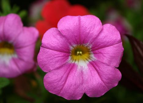 Petunia plant at Ramsey County Master Gardener's plant sale