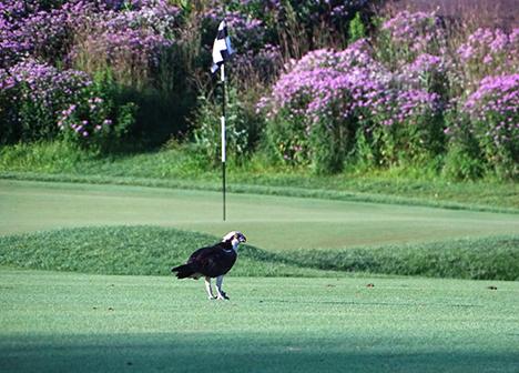 Osprey on Keller Golf Course